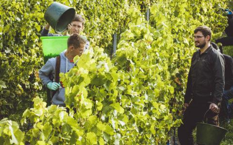 Unsere Weinlese - viele fleißige Helfer